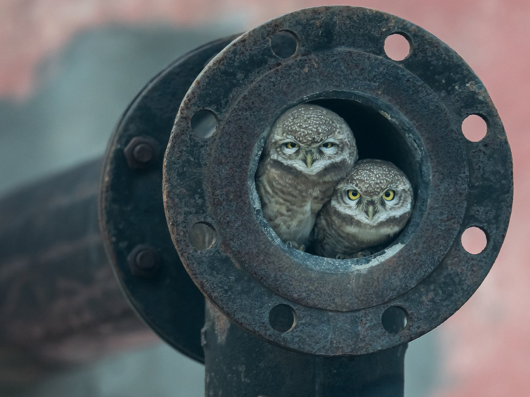 wildlife photos of the year   young photog pipe owls india