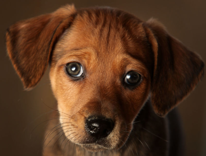 A close up of a dachshund mix puppy looking sad