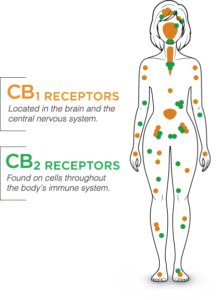 Diagram of CB Receptor locations in a human body | Made By Hemp